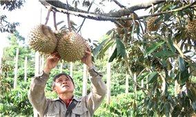 Đắk Lắk đã tiêu thụ được gần 100.000 tấn sầu riêng và bơ