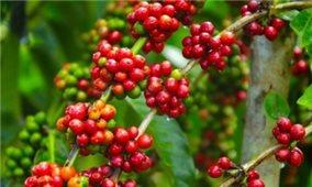 Giá cà phê hôm nay 22/9: Giữ ổn định so với cùng thời điểm hôm qua
