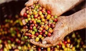 Giá cà phê hôm nay 8/10: Thị trường trong nước giữ ổn định