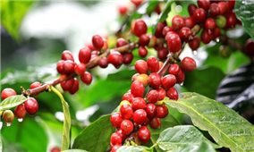 Giá cà phê hôm nay 9/10: Trong khoảng 39.300-40.200 đồng/kg