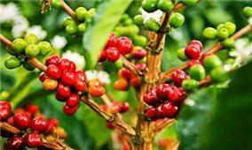 Giá cà phê hôm nay 3/10: Trong mức 39.900-40.800 đồng/kg