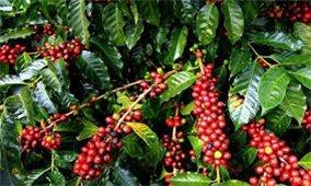 Giá cà phê hôm nay 2/10: Tăng khoảng 600 đồng/kg