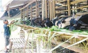 Bắc Giang: Thu nhập tiền tỷ từ nuôi dê vỗ béo