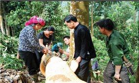 Dân Nậm Đét làm giàu từ cây quế