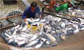Giá cá tra nguyên liệu tại Tiền Giang tăng mạnh