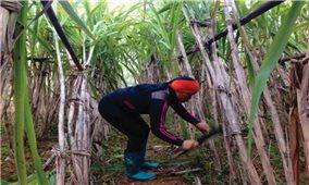 Người Mông ở Thang Sặp mở rộng diện tích trồng mía