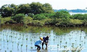 Nỗ lực khôi phục rừng ngập mặn