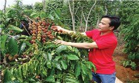 Tìm lại vị thế cho cây trồng chủ lực ở Tây Nguyên: Bằng cách nào?