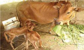 Kỹ thuật nuôi bò cái sinh sản