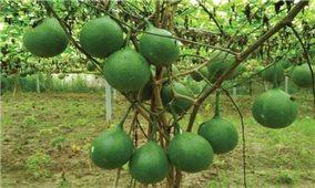 Cách trồng và chăm sóc cây gấc sai quả