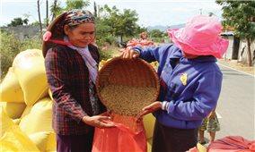 Mùa vàng làng Chăm Lương Tri