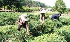 Thu nhập cao từ liên kết trồng rau an toàn