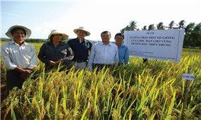 Liên kết sản xuất lúa giống: Ba bên cùng có lợi