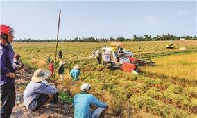 """Liên kết bao tiêu lúa gạo: Giải pháp căn cơ cho """"vựa lúa"""""""