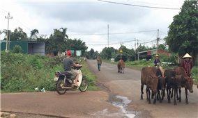 Tiềm ẩn tai nạn giao thông từ chăn nuôi thả rông
