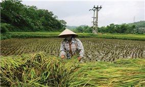 Gạo Bao Thai chợ Đồn: Niềm tự hào về sản phẩm OCOP của Bắc Kạn