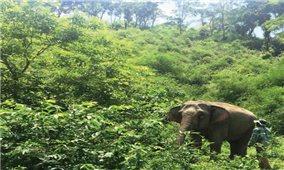 Tìm giải pháp khôi phục đàn voi nhà