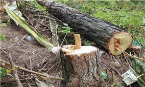 Tan hoang rừng thông hơn 30 năm tuổi ở Ba Tơ