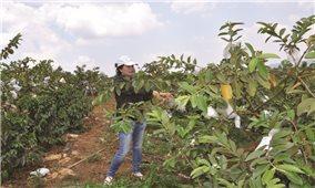 Đăk Nông: Ứng dụng công nghệ cao trong phát triển cây ăn quả