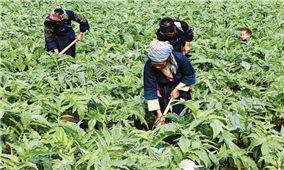 Hà Giang: Nỗ lực trở thành trung tâm dược liệu quốc gia