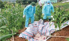 Bảo vệ môi trường khi tiêu hủy lợn dịch