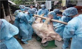 Người chăn nuôi thiệt hại nặng nề sau dịch tả lợn châu Phi