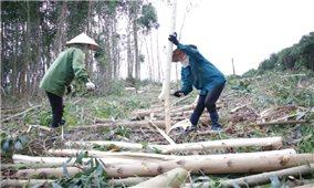 Nông dân xã Cư Króa thu nhập cao từ trồng rừng kinh tế
