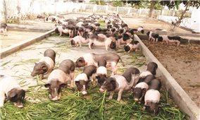 """Móng Cái (Quảng Ninh): Bảo vệ giống lợn quý Móng Cái trước """"bão"""" dịch"""