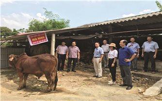 Ứng dụng khoa học công nghệ trong nuôi bò thịt: Hiệu quả trông thấy