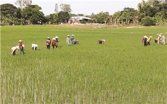 Xuất khẩu gạo thơm sang thị trường châu Âu (EU): Cơ hội khẳng định vị thế gạo Việt