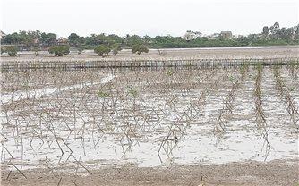 Hàng chục ha rừng ngập mặn mới trồng ở Hà Tĩnh chết trắng: Chờ ý kiến Bộ để trồng lại