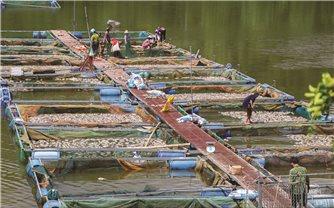 Điện Biên: Hàng chục tấn cá lồng chết nổi trắng hồ