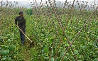 Nông dân Văn Bàn tăng thu nhập cao từ cây trồng vụ đông