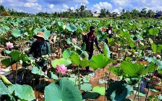 Thừa Thiên Huế: Mở rộng diện tích trồng sen đạt hiệu quả kinh tế cao