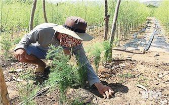 Nông dân Ninh Thuận làm giàu từ cây măng tây