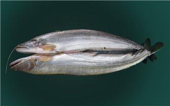 Kỹ thuật nuôi cá leo thương phẩm trong ao
