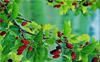Bài thuốc hay từ cây dâu tằm