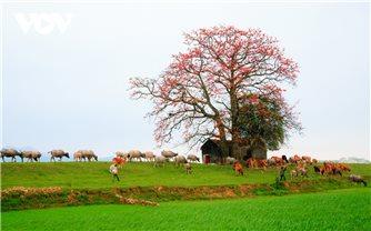 Tháng ba, hoa gạo khoe sắc thắm bên bờ sông Thương