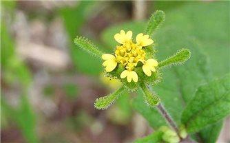 Bài thuốc dân gian sử dụng cây hy thiêm