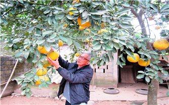 Hiệu quả kinh tế từ trồng bưởi Diễn trên đất vườn, đồi