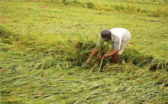Nhiều diện tích lúa, cây trồng ở Quảng Bình bị ảnh hưởng do dông lốc