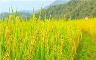 Giá lúa gạo hôm nay 27/7: Giá lúa đồng loạt giảm
