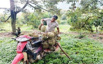 Lâm Đồng: Dán tem cho sầu riêng Đạ Huoai
