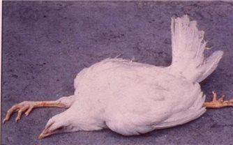 Triệu chứng, cách điều trị và phòng ngừa bệnh Marek ở gà