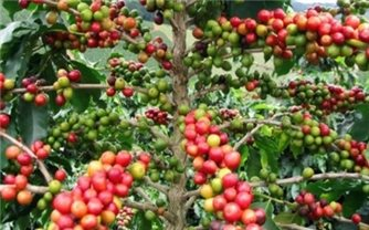 Giá cà phê hôm nay 30/7: Thị trường trong nước giảm nhẹ