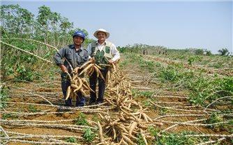 Trồng sắn giống mới giúp nông dân ở Đức Bình Đông thoát nghèo