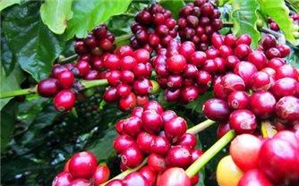 Giá cà phê hôm nay 16/9: Đồng loạt tăng