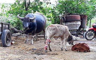 Tây Nguyên: Dịch bệnh trên đàn gia súc bùng phát, lây lan nhanh