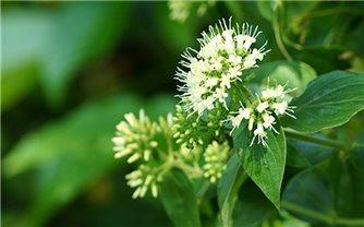 Những bài thuốc quý từ cây dạ cẩm