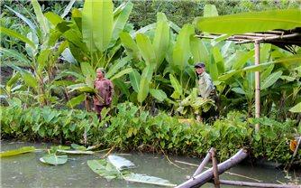 Người dân vùng cao thu nhập ổn định từ trồng chuối rừng lấy lá
